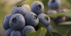 บลูเบอร์รี่เป็นผลไม้ที่ดีต่อสุขภาพจริงหรือ?